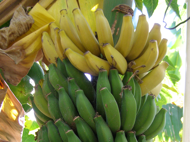Its all About the PHILIPPINES: Top 20 Popular Fruits in ...